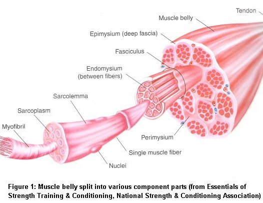 muscle_anatomy